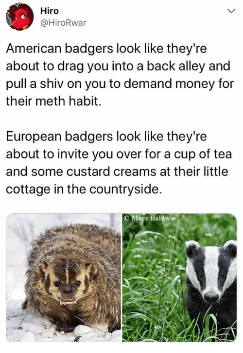 Money, American, and Back: Hiro  @HiroRwar  American badgers look like they're  about to drag you into a back alley and  pull a shiv on you to demand money for  their meth habit.  European badgers look like they're  about to invite you over for a cup of tea  and some custard creams at their little  cottage in the countryside.  O Marc Baldwin