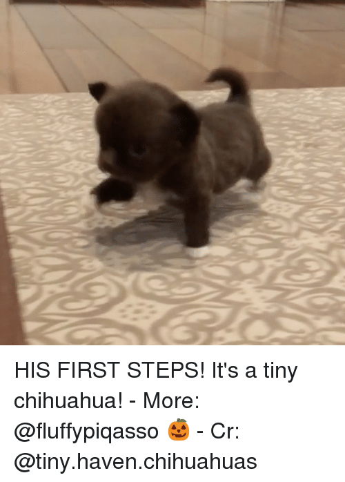 chihuahuas: HIS FIRST STEPS! It's a tiny chihuahua! - More: @fluffypiqasso 🎃 - Cr: @tiny.haven.chihuahuas