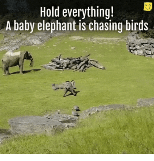 Baby Elephant: Hold everything!  A baby elephant is chasing birds