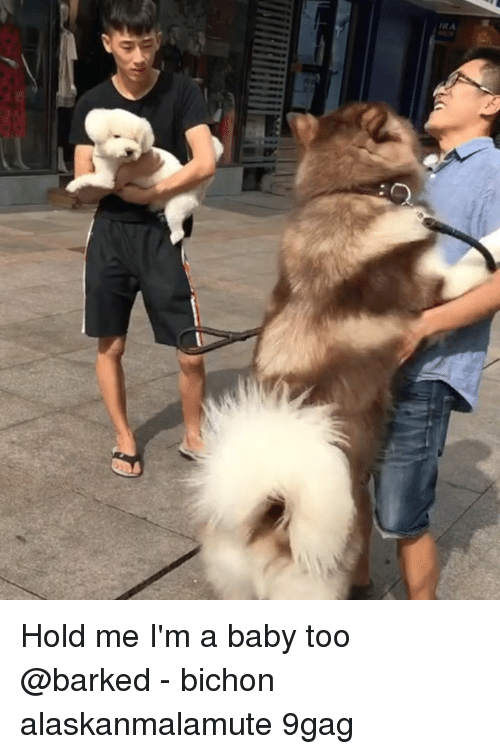 9gag, Memes, and Baby: Hold me I'm a baby too @barked - bichon alaskanmalamute 9gag