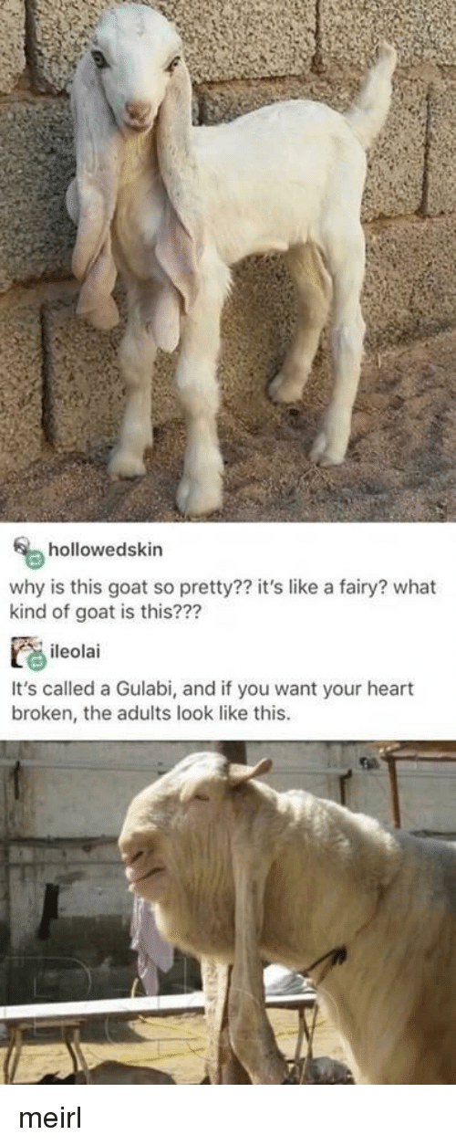 heart broken: hollowedskin  why is this goat so pretty?? it's like a fairy? what  kind of goat is this???  ileolai  It's called a Gulabi, and if you want your heart  broken, the adults look like this meirl
