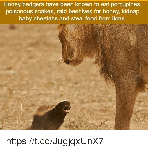 honey badgers: Honey badgers have been known to eat porcupines  poisonous snakes, raid beehives for honey, kidnap  baby cheetahs and steal food from lions. https://t.co/JugjqxUnX7