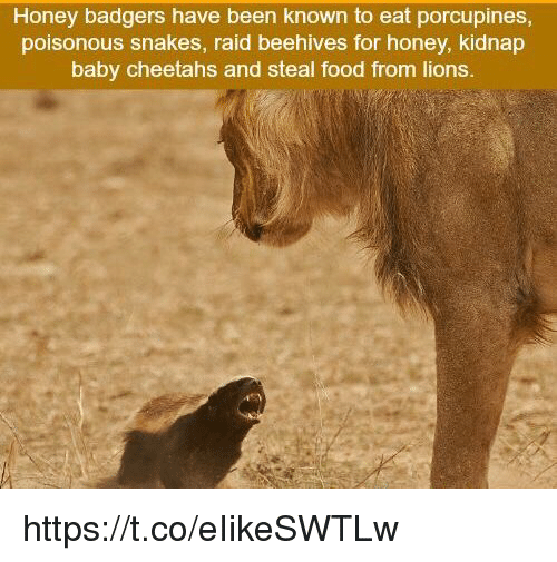 honey badgers: Honey badgers have been known to eat porcupines  poisonous snakes, raid beehives for honey, kidnap  baby cheetahs and steal food from lions. https://t.co/eIikeSWTLw