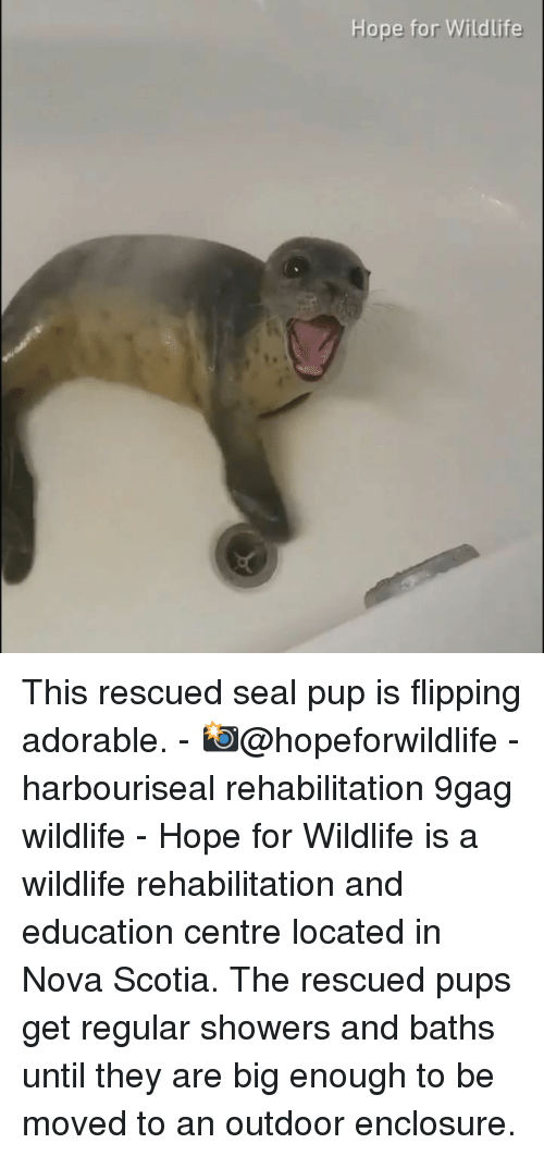 9gag, Memes, and Nova: Hope for Wildlife This rescued seal pup is flipping adorable. - 📸@hopeforwildlife - harbouriseal rehabilitation 9gag wildlife - Hope for Wildlife is a wildlife rehabilitation and education centre located in Nova Scotia. The rescued pups get regular showers and baths until they are big enough to be moved to an outdoor enclosure.