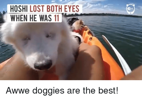 Aww, Memes, and 🤖: HOSHI LOST BOTH EYES  WHEN HE WAS 11 Awwe doggies are the best!