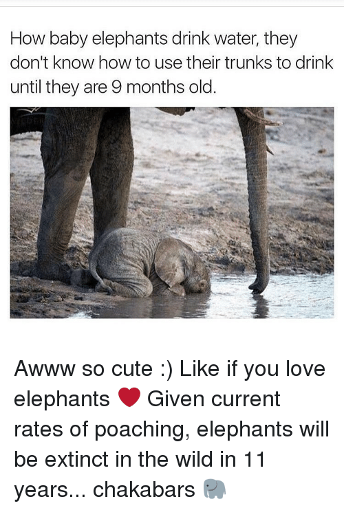 Baby Elephants: How baby elephants drink water, they  don't know how to use their trunks to drink  until they are 9 months old Awww so cute :) Like if you love elephants ❤️️ Given current rates of poaching, elephants will be extinct in the wild in 11 years... chakabars 🐘