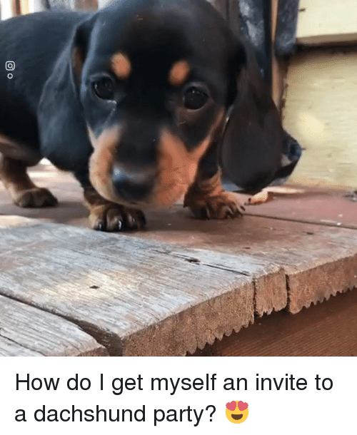 Dank, Party, and 🤖: How do I get myself an invite to a dachshund party? 😍