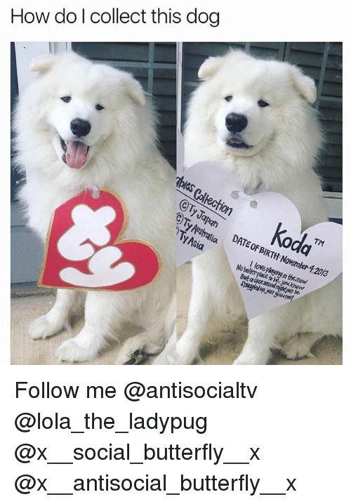 Love, Memes, and Australia: How do l collect this dog  CTy Tapan  Ty Australia  TM  Au DATEFIRTHoember 4,2013  I love playing in thesnow  No Follow me @antisocialtv @lola_the_ladypug @x__social_butterfly__x @x__antisocial_butterfly__x