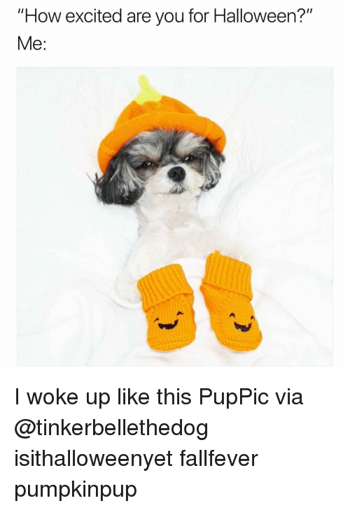 """Funny, Halloween, and How: """"How excited are you for Halloween?""""  Me: I woke up like this🧡🎃 PupPic via @tinkerbellethedog isithalloweenyet fallfever pumpkinpup"""