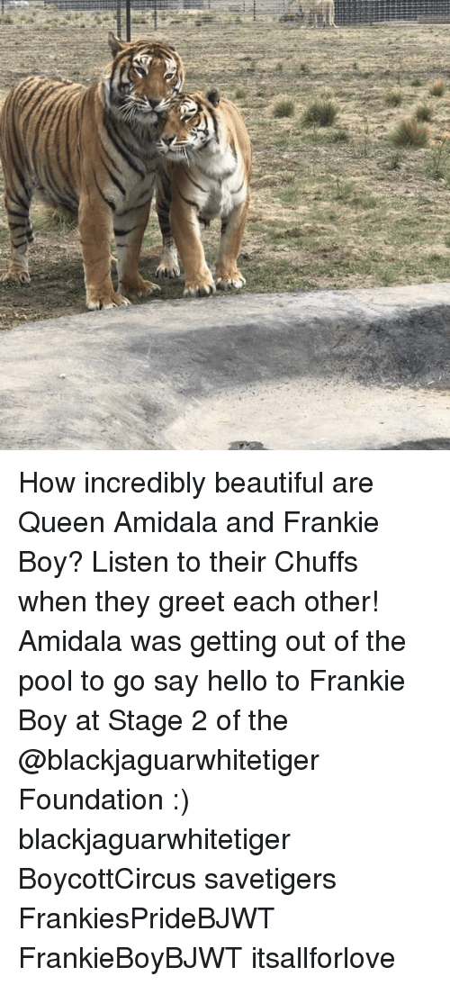 Beautiful, Hello, and Memes: How incredibly beautiful are Queen Amidala and Frankie Boy? Listen to their Chuffs when they greet each other! Amidala was getting out of the pool to go say hello to Frankie Boy at Stage 2 of the @blackjaguarwhitetiger Foundation :) blackjaguarwhitetiger BoycottCircus savetigers FrankiesPrideBJWT FrankieBoyBJWT itsallforlove