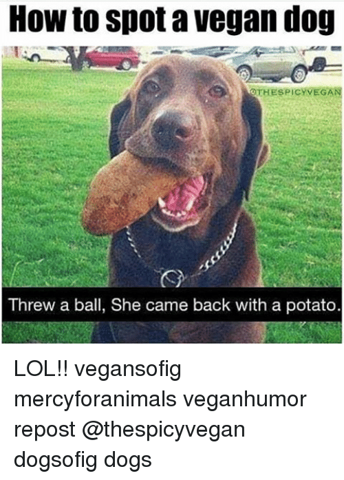Dogs, Lol, and Memes: How to Spot a Vegan dog  OTHESPICY VEGAN  Threw a ball, She came back with a potato. LOL!! vegansofig mercyforanimals veganhumor repost @thespicyvegan dogsofig dogs