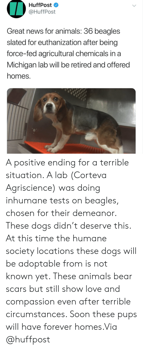 Compassion: HuffPost  @HuffPost  Great news for animals: 36 beagles  slated for euthanization after being  force-fed agricultural chemicals in a  Michigan lab will be retired and offered  homes. A positive ending for a terrible situation. A lab (Corteva Agriscience) was doing inhumane tests on beagles, chosen for their demeanor. These dogs didn't deserve this. At this time the humane society locations these dogs will be adoptable from is not known yet. These animals bear scars but still show love and compassion even after terrible circumstances. Soon these pups will have forever homes.Via @huffpost