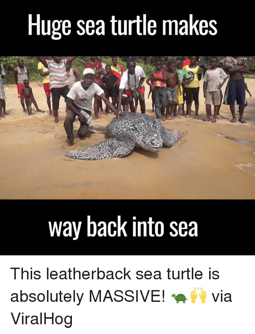 Dank, 🤖, and Log: Huge sea turtle makes  way back into sea  viral log This leatherback sea turtle is absolutely MASSIVE! 🐢🙌  via  ViralHog