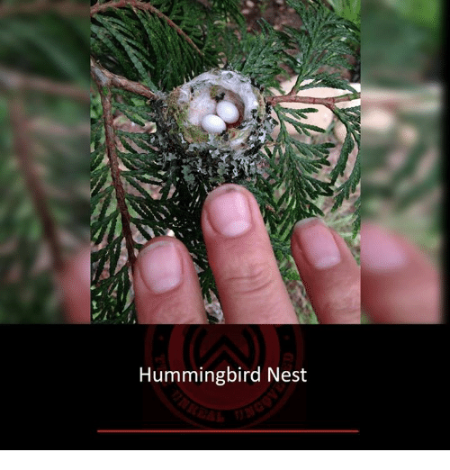 Hummingbird: Hummingbird Nest