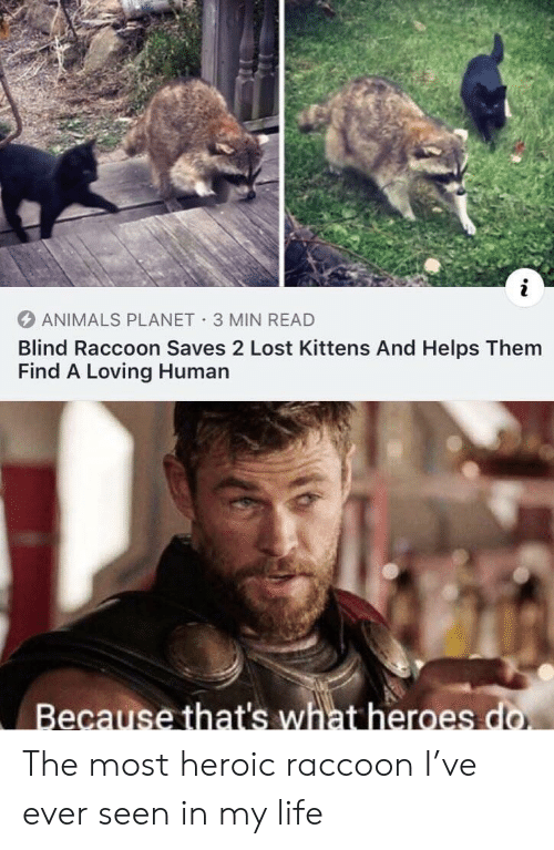 Heroic: i  ANIMALS PLANET 3 MIN READ  Blind Raccoon Saves 2 Lost Kittens And Helps Them  Find A Loving Human  Because that's what heroes do. The most heroic raccoon I've ever seen in my life
