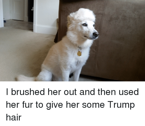 trump hair: I brushed her out and then used her fur to give her some Trump hair