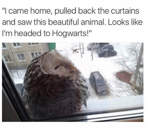 "Beautiful, Memes, and Saw: ""I came home, pulled back the curtains  and saw this beautiful animal. Looks like  I'm headed to Hogwarts!"""