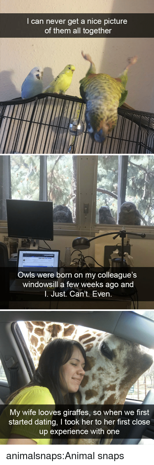 colleagues: I can never get a nice picture  of them all together   Owls were born on my colleague's  windowsill a few weeks ago and  l. Just. Can't. Even.   My wife looves giraffes, so when we first  started dating, I took her to her first close  up experience with one animalsnaps:Animal snaps