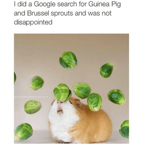 brussels sprout: I did a Google search for Guinea Pig  and Brussel sprouts and was not  disappointed
