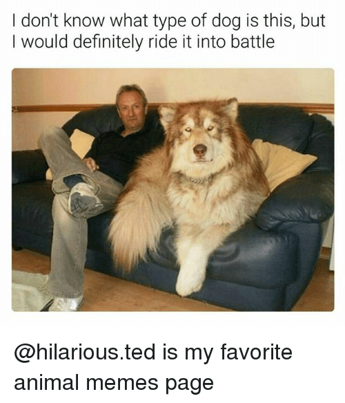 Definitely, Memes, and Ted: I don't know what type of dog is this, but  I would definitely ride it into battle @hilarious.ted is my favorite animal memes page