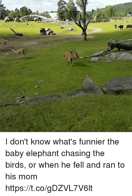 Birds, Elephant, and Girl Memes: I don't know what's funnier the baby elephant chasing the birds, or when he fell and ran to his mom https://t.co/gDZVL7V6lt