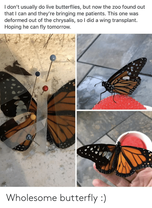 zoo: I don't usually do live butterflies, but now the zoo found out  that I can and they're bringing me patients. This one was  deformed out of the chrysalis, so I did a wing transplant  Hoping he can  fly tomorrow. Wholesome butterfly :)
