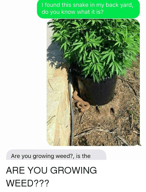 Weed, Snake, and Back: I found this snake in my back yard  do you know what it is?  Are you growing weed?, is the ARE YOU GROWING WEED???