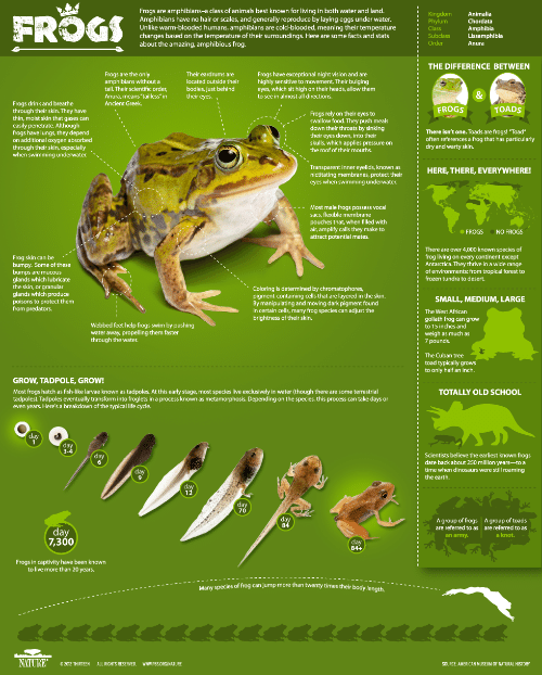 """Frog Species: I  FROGS  Frogs are amphibians-a class of animals best known for living in both water and land.  Amphibians have no hair or scales, and generally reproduce by laying eggs under water.  Unlike warm-blooded humans, amphibians are cold-blooded, meaning their temperature  changes based on the temperature of their surroundings. Here are some facts and stats  about the amazing, amphibious frog.  Kingdom  Animalia  Chordata  Subclass  er  Lissamphibia  THE DIFFERENCE BETWEEN  Frogs are the only  amphibians without a  tail. Their scientific order,  Anura, means """"tailless""""in  Ancient Greek.  Their eardrums are  located outside their  bodies, just behind  Frogs have exceptional night vision and are  highly sensitive to movement. Their bulging  eyes, which sit high on their heads, allow them  to see in almost all directions.  tir eyes.,  Frogs drink and breathe  through their skin. They have  thin, moist skin that gases can  easily penetrate. Although  frogs have lungs, they depend  on additional oxygen absorbed  through their skin, especially  when swimming underwater.  FROGS  TOADS  Frogs rely on their eyes to  swallow food. They push meals  down their throats by sinking  their eyes down, into their  skulls, which applies pressure on  the roof of their mouths.  .--  、、--.. ..  i  I  There isn't one. Toads are frogs! """"Toad  often references a frog that has particularly  dry and warty skin.  Transparent inner eyelids, known as  nictitating membranes, protect their  eyes when swimming underwater.  HERE, THERE, EVERYWHERE!  Most male frogs possess vocal  sacs, flexible membrane  pouches that, when filled with  air, amplify calls they make to  attract potential mates.  FROGS NO FROGS  i  There are over 4,000 known species of  frog living on every continent except  Antarctica. They thrive in a wide range  of environments: from tropical forest to  frozen tundra to desert.  Frog skin can be  bumpy. Some of these  glands which lubricate  glands which produce  I  i  l  a"""
