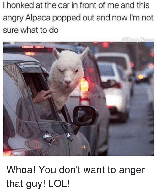 Memes, Pop, and Angry: I honked at the car in front of me and this  angry Alpaca popped out and now I'm not  sure what to do Whoa! You don't want to anger that guy! LOL!