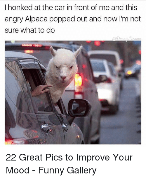 Alpaca: I honked at the car in front of me and this  angry Alpaca popped out and now I'm not  sure what to do  @[Jonn사.DV-anta 22 Great Pics to Improve Your Mood - Funny Gallery