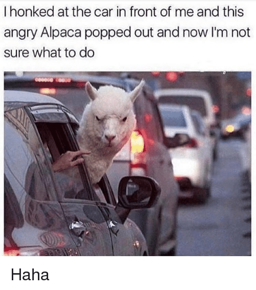 Alpaca: I honked at the car in front of me and this  angry Alpaca popped out and now I'm not  sure what to do Haha