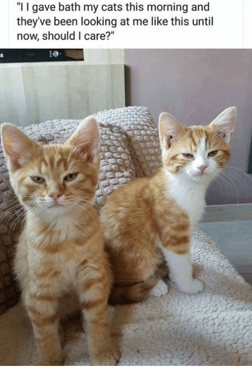 """Cats, Memes, and Been: """"I I gave bath my cats this morning and  they've been looking at me like this until  now, should I care?"""""""
