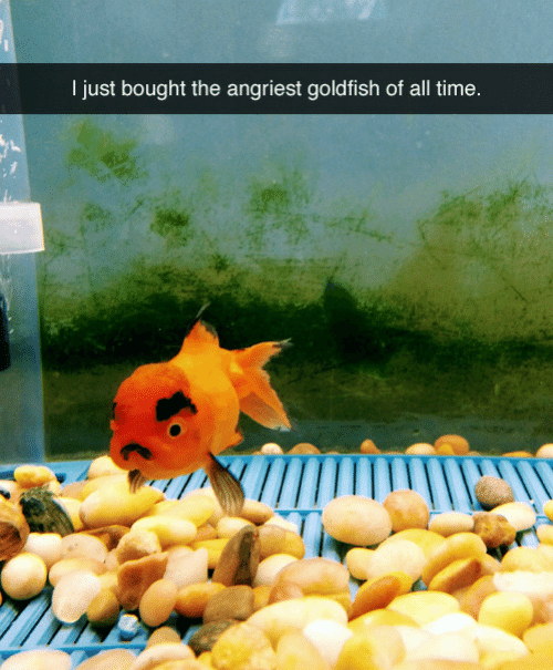Angriest: I just bought the angriest goldfish of all time