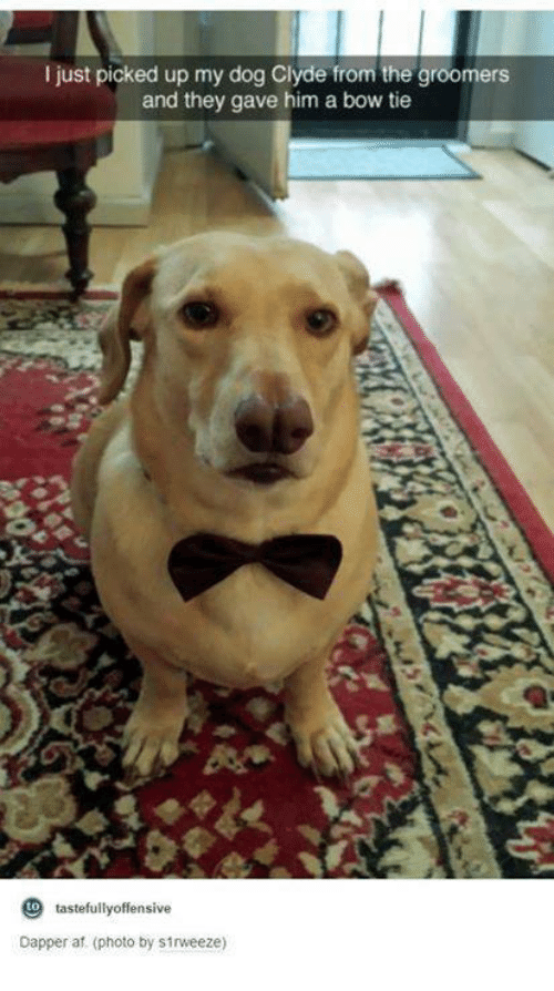Groomers: I just picked up my dog Clyde from the groomers  and they gave him a bow tie  to tastefully offensive  Dapper af. (photo by s1rweeze)