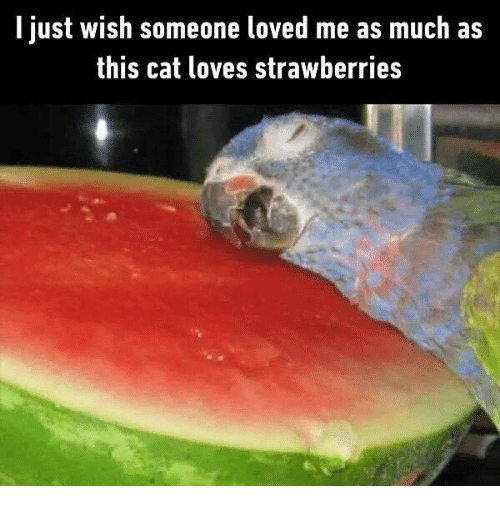 i just wish someone loved me as much as this cat loves strawberries cat meme on sizzle. Black Bedroom Furniture Sets. Home Design Ideas