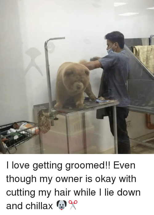 Love, Memes, and Hair: I love getting groomed!! Even though my owner is okay with cutting my hair while I lie down and chillax 🐶✂️