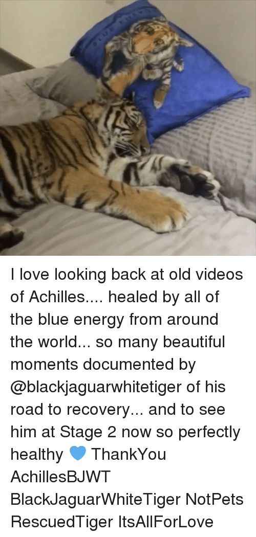 Achille: I love looking back at old videos of Achilles.... healed by all of the blue energy from around the world... so many beautiful moments documented by @blackjaguarwhitetiger of his road to recovery... and to see him at Stage 2 now so perfectly healthy 💙 ThankYou AchillesBJWT BlackJaguarWhiteTiger NotPets RescuedTiger ItsAllForLove