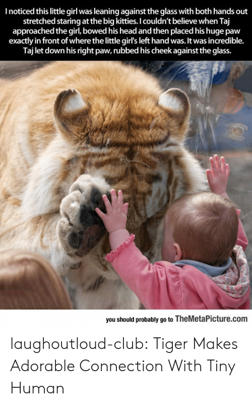 Kitties: I noticed this little girl was leaning against the glass with both hands out  stretched staring at the big kitties. I couldn't believe when Taj  approached the girl, bowed his head and then placed his huge paw  exactly in front of where the little girl's left hand was. It was incredible.  Taj let down his right paw, rubbed his cheek against the glass.  bewhe itle girlsleft hand was,it  you should probably go to TheMetaPicture.com laughoutloud-club:  Tiger Makes Adorable Connection With Tiny Human