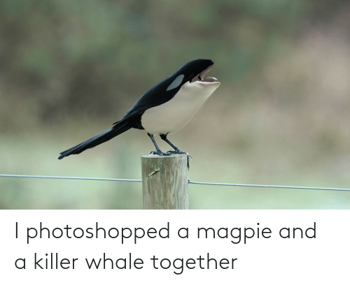 photoshopped: I photoshopped a magpie and a killer whale together