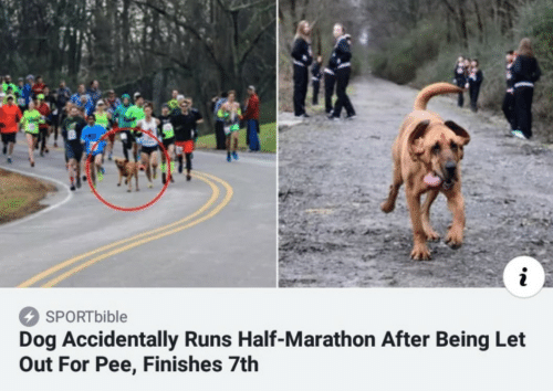 marathon: i  SPORT bible  Dog Accidentally Runs Half-Marathon After Being Let  Out For Pee, Finishes 7th