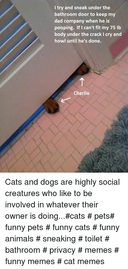 funny cats: I try and sneak under the  bathroom door to keep my  dad company when he is  pooping. If I can't fit my 75 lb  body under the crack I cry and  howl until he's done.  Charlie Cats and dogs are highly social creatures who like to be involved in whatever their owner is doing...#cats # pets# funny pets # funny cats # funny animals # sneaking # toilet # bathroom # privacy # memes # funny memes # cat memes