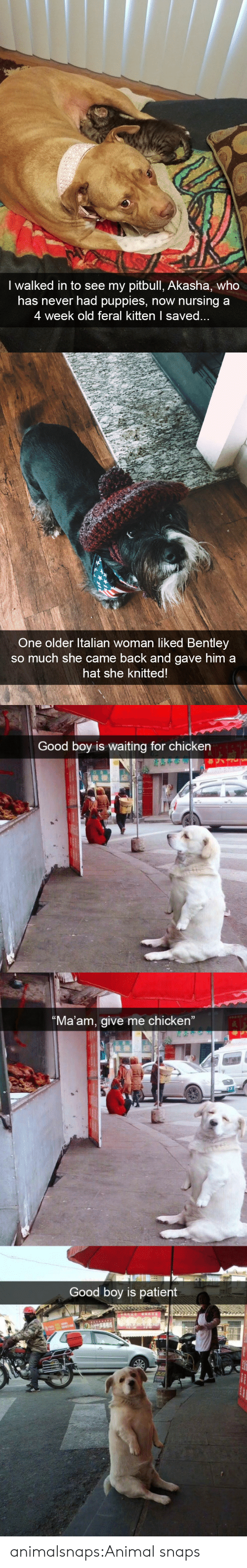 """Pitbull: I walked in to see my pitbull, Akasha, who  has never had puppies, now nursing a  4 week old feral kitten I save   One older ltalian woman liked Bentley  so much she came back and gave him a  hat she knitted   Good boy is waiting for chicken  Ma'am, give me chicken""""  Good boy is patient animalsnaps:Animal snaps"""