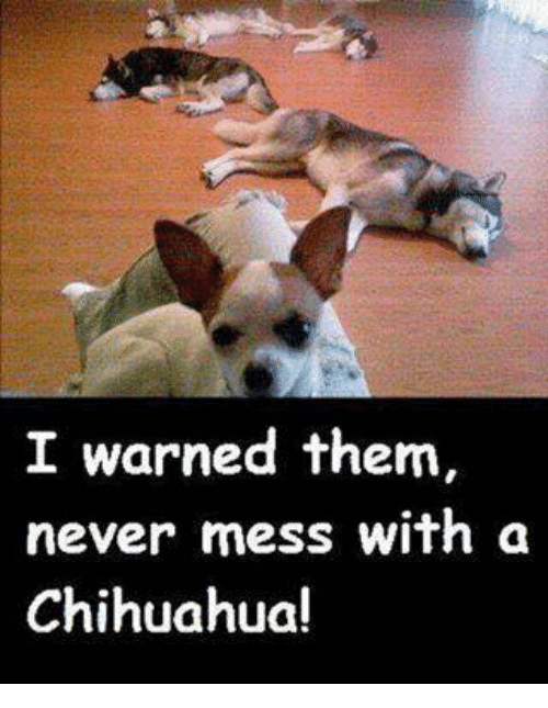 chihuahuas: I warned them,  never mess with a  Chihuahua!