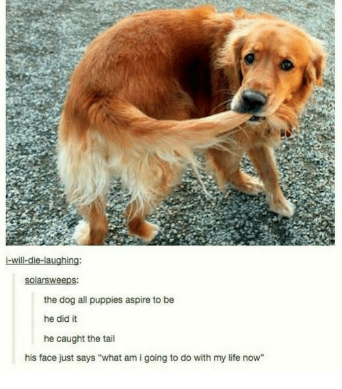 "I Will Die: i-will-die-laughing:  the dog all puppies aspire to be  he did it  he caught the tail  his face just says ""what am i going to do with my life now"