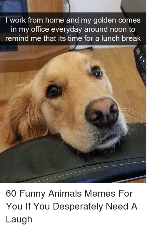 Animals Memes: I work from home and my golden comes  in my office everyday around noon to  remind me that its time for a lunch break 60 Funny Animals Memes For You If You Desperately Need A Laugh