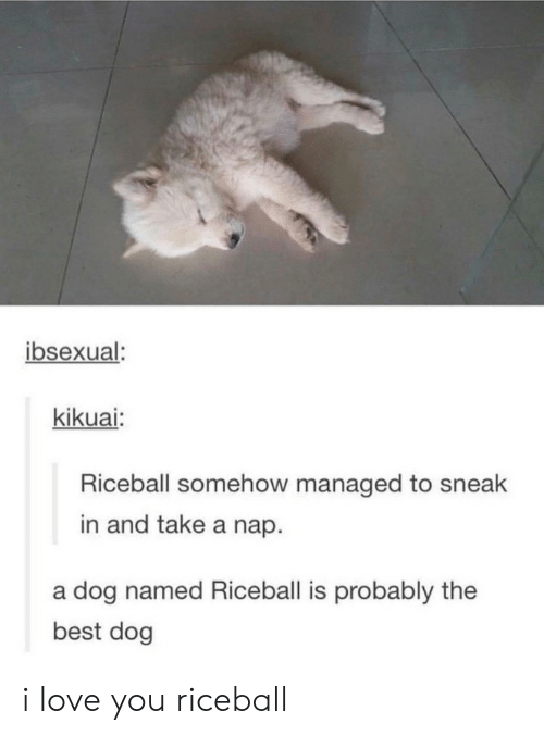 Best Dog: ibsexual  kikuai:  Riceball somehow managed to sneak  in and take a nap.  a dog named Riceball is probably the  best dog i love you riceball