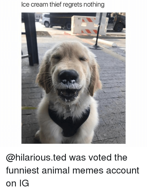 Funny, Memes, and Ted: Ice cream thief regrets nothing @hilarious.ted was voted the funniest animal memes account on IG