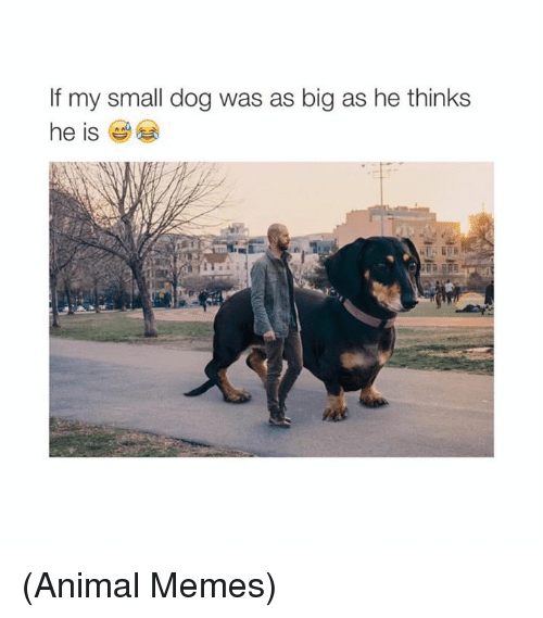 dank: If my small dog was as big as he thinks  he is (Animal Memes)