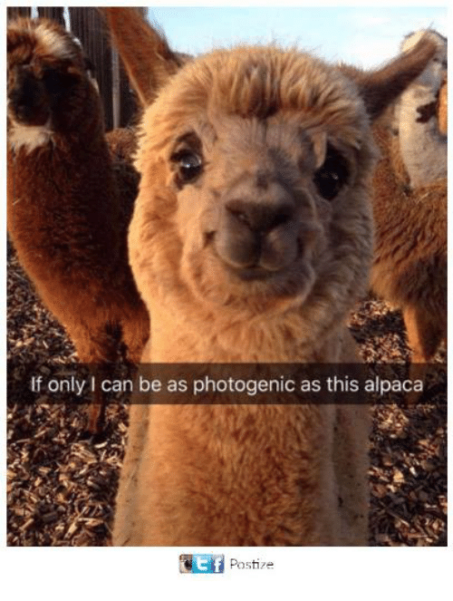 Dank, Alpaca, and 🤖: If only I can be as photogenic as this alpaca  Ef  Postize