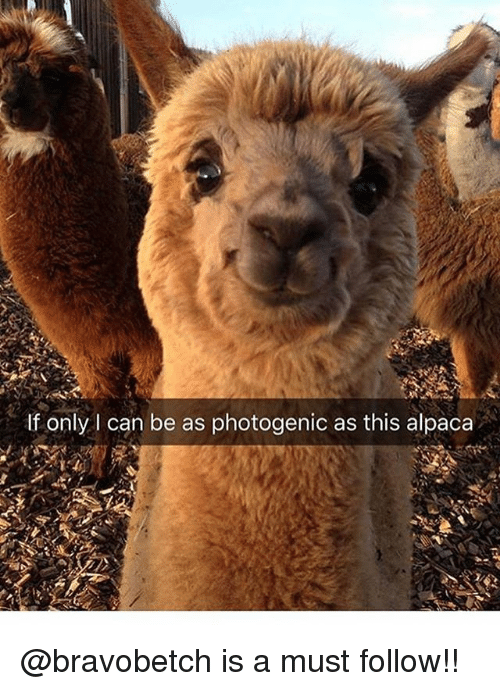 Memes, Alpaca, and 🤖: If only l can be as photogenic as this alpaca @bravobetch is a must follow!!